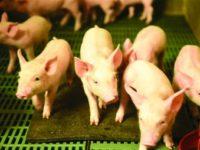 GAEC Le Porc Brionnais